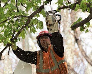 Премахнаха опасни дървета от Градската градина в София