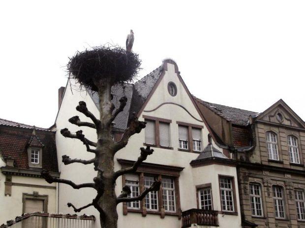 Как белият щъркел се завърна в Страсбург и дори стана символ на града?