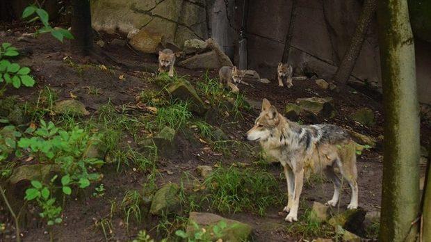 В зоопарка в Мексико Сити показаха вълчета от застрашен вид