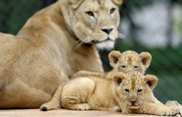 Показаха за пръв път две лъвчета от рядък вид в чешки зоопарк