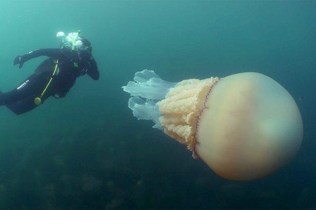 Двама водолази попаднаха на гигантска медуза край бреговете на Англия