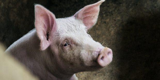 Започват проверките за домашни свине в Южна България