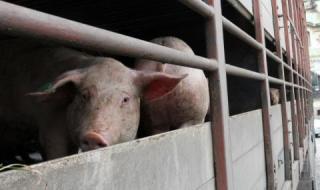 БАБХ: Животните се умъртвяват по хуманен начин