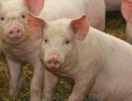 Продължават мерките срещу африканска чума по свинете