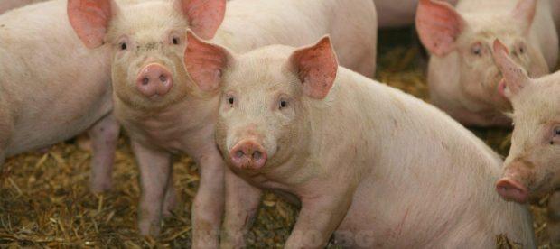 Ферма със 17 000 свине в Русенско е заразена с африканска чума