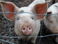 Установиха нов случай на африканска чума по свинете в област Русе
