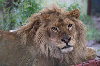 Лъвове нахапаха служителка в австралийски зоопарк