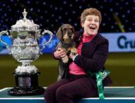 Дакелът Мейзи спечели голямата награда на международното изложение за кучета в Бирмингам