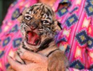 В мексикански зоопарк кръстиха новородено тигърче Ковид