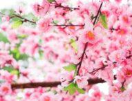 Малцина се наслаждават на цъфтежа на японските вишни в Токио заради заплахата от COVID-19