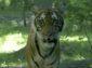 Тигър от зоологическата градина на Бронкс се зарази с COVID-19
