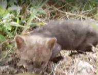 Колумбийски фермер спаси изоставено коте край пътя, което се оказа пума от застрашен вид