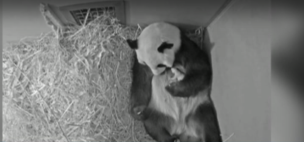 """Кръстиха първото бебе панда, родено в Нидерландия, """"Звездна нощ"""""""