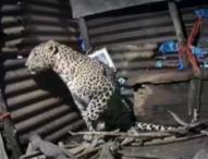 Леопард роди четири малки в дома на фермер в Западна Индия