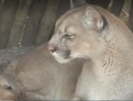 Зоопаркът в Лос Аджелис отвори врати, зоопарковете във Вашингтон и Париж имат нови питомци
