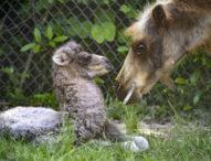 В резерват Перу се роди камилче от рядък вид