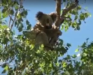 Спор за защита на коалите щеше да свали правителството на най-големия щат в Австралия
