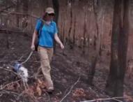 В Австралия подготвят специално обучени кучета за търсене на коали при евентуални пожари