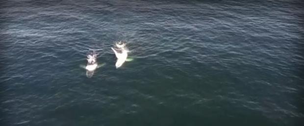 Стотици китове мигрират край бреговете на Австралия, на път за Антарктида