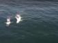 Два кита белуга се адаптираха отлично към резерват във водите на Исландия