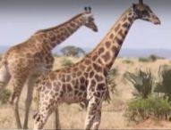 Учени откриха жирафи-джуджета в Намибия и Уганда