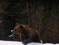 Неочаквана опасност по ски пистите в Румъния – мечки, гонят скиори