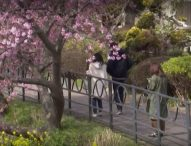 Започва сезонът на пролетта в Япония – великолепните вишневи цветове