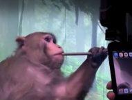 """""""Neuralink"""" на Илън Мъск показа маймуна, играеща на видеоигра с помощта на мозъчен имплант"""