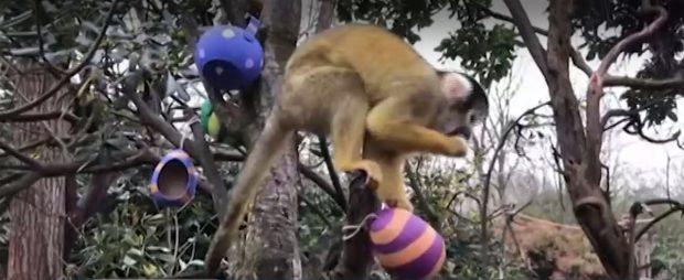 Маймуни и сурикати на лов за великденски яйца в лондонския зоопарк