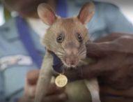 """Плъх-герой, открил десетки мини в Камбоджа, се """"пенсионира"""" след 5 години работа"""