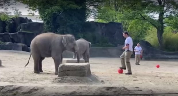 Слонове ще влязат в ролята на гадатели за европейското първенство по футбол
