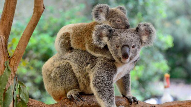 Коалите вече са обявени за застрашен вид