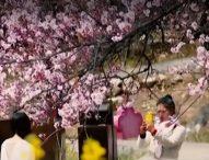 Хиляди туристи се стичат в тибетско село да се насладят на цъфналите прасковени цветове