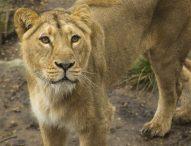Новата лъвица на лондонския зоопарк отбелязва Световния ден на лъва