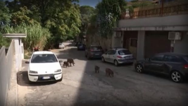 Истинска напаст от диви прасета по улиците на италианската столица Рим